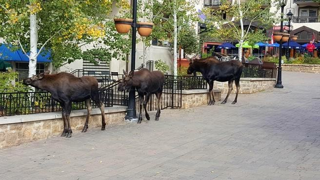 Beautiful Fall weather brings all kinds of window shoppers to Lionshead. A reminder, do not approach or feed wild animals. Keep a safe distance, as these animals have been known to charge. Take pictures from a distance!